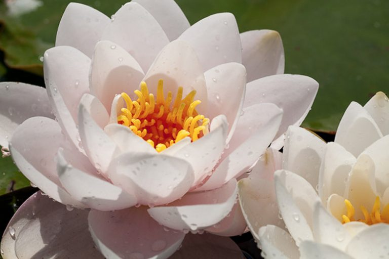 Ninfea bianca giardino botanico Soldera