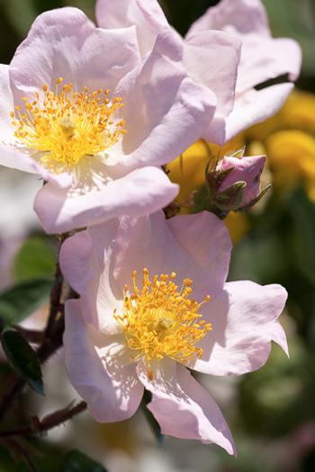 Rosa antica rosa giardino botanico Soldera